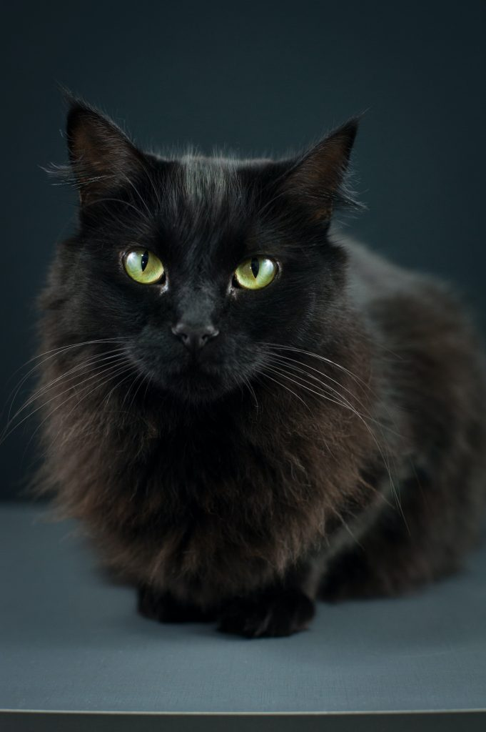 cat fur color and patterns Solid Coats