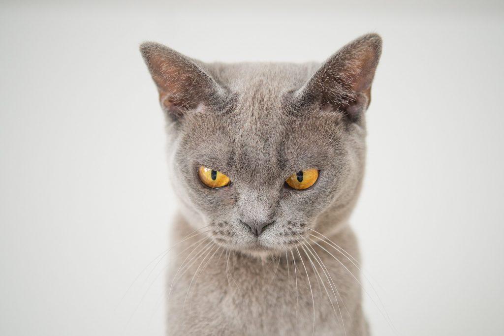 korat rare cat breeds
