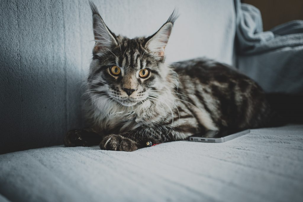 Maine Coon vs Norwegian Forest physical characteristics