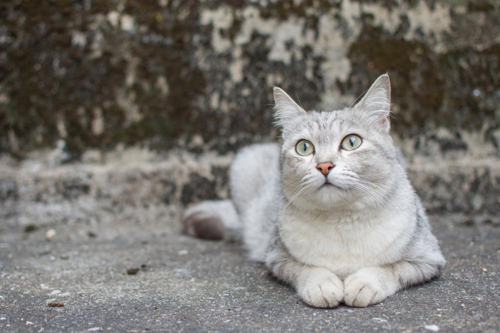 burmilla rare cat breeds
