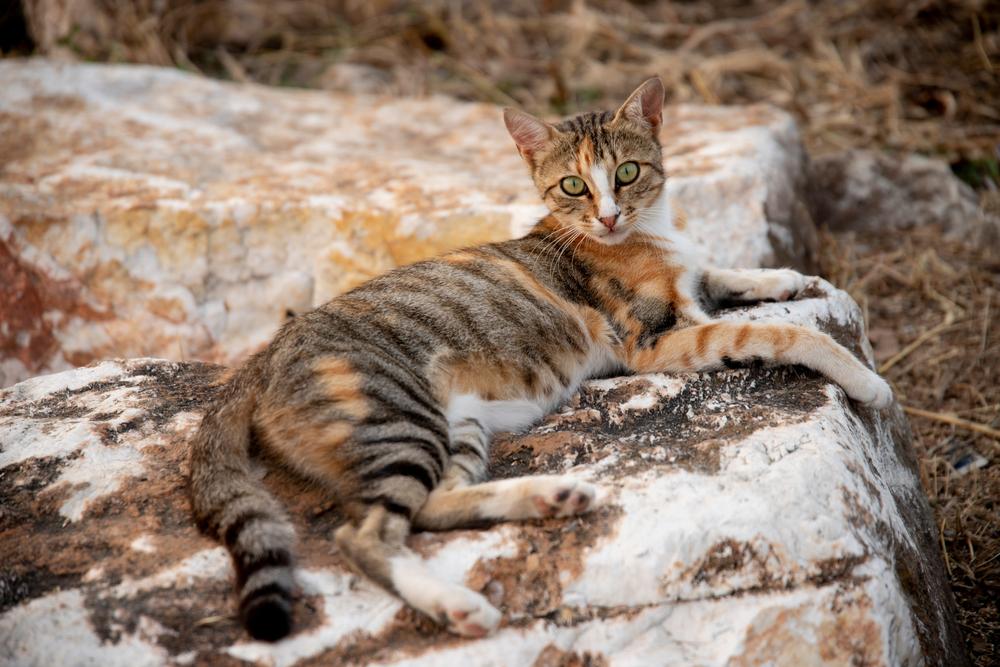 sokoke rare cat breeds