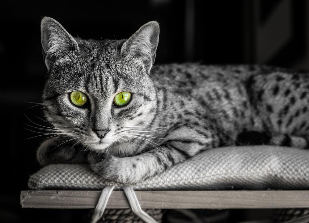 egyptian mau rare cat breeds