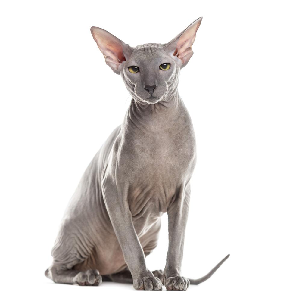 Peterbald rare cat breeds