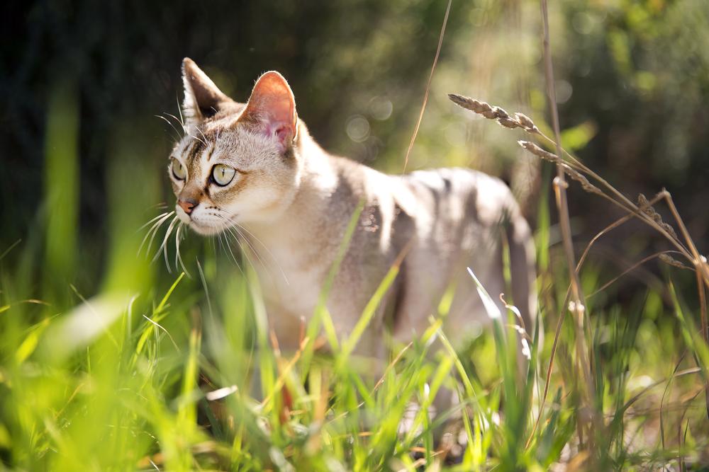 Singapura rare cat breeds