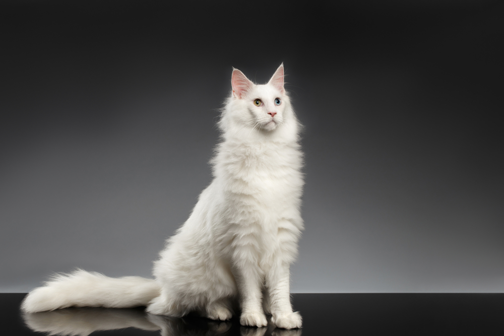 Popular Maine Coons Coat Patterns white