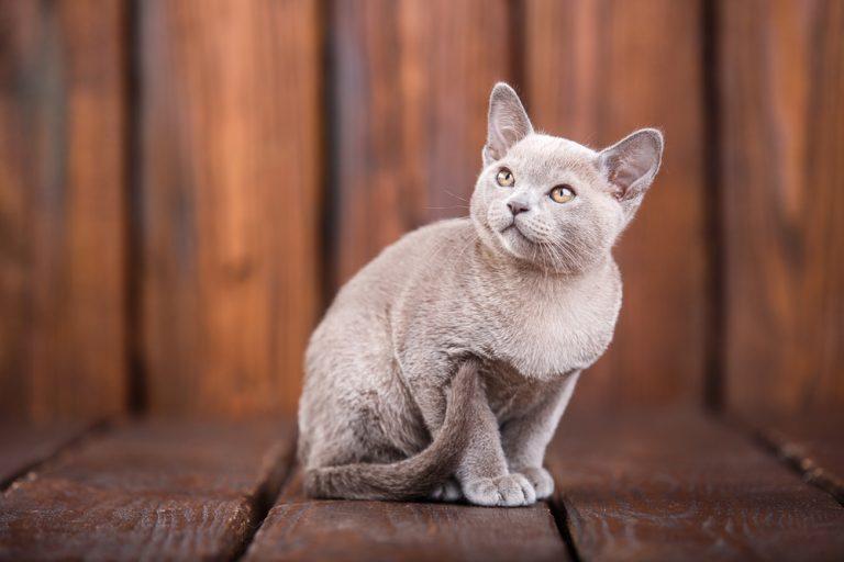 European Burmese rare cat breeds
