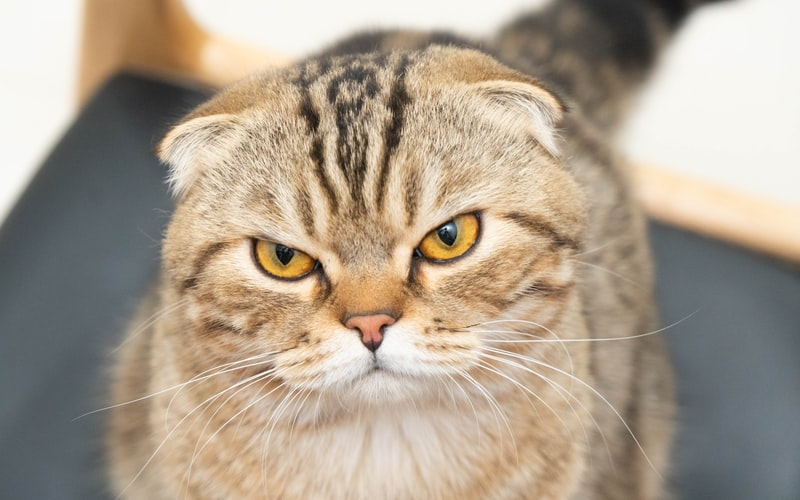 scottish fold round faced cats