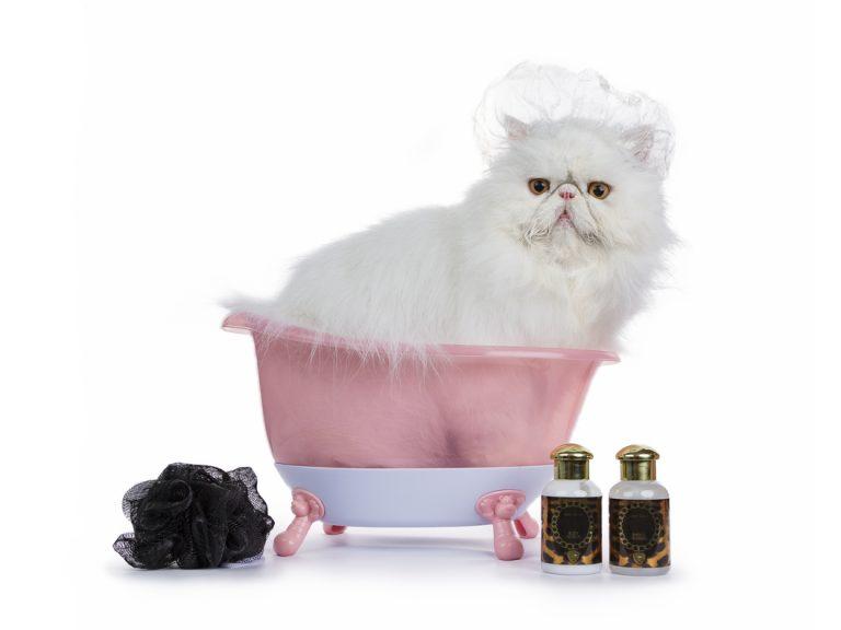 bathing a persian cat
