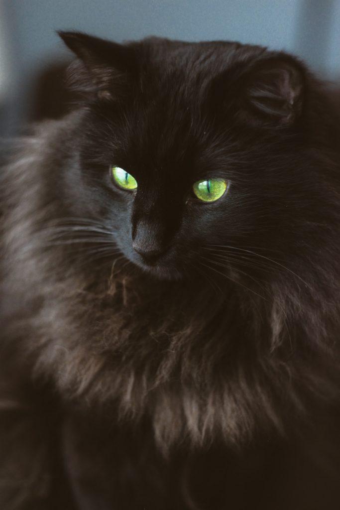 solid color siberian cat fur