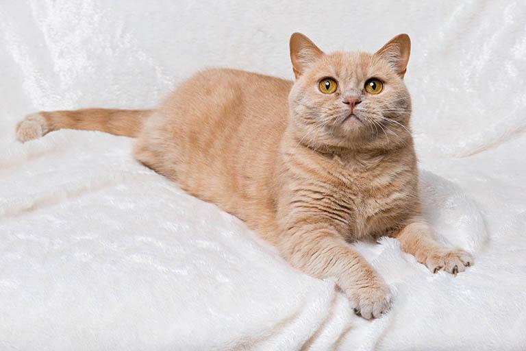 British Shorthair short ear cat