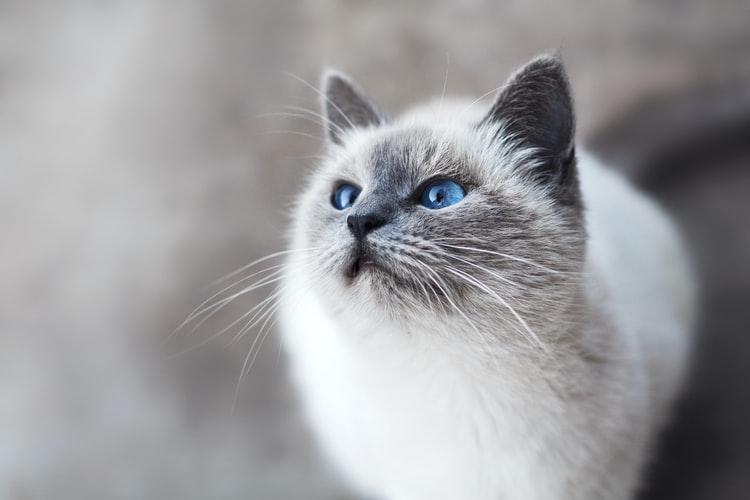 Burmese round face cat