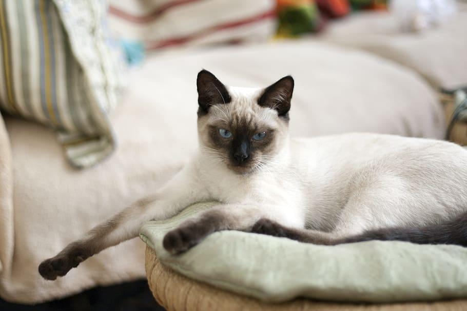 white colored point siamese cat
