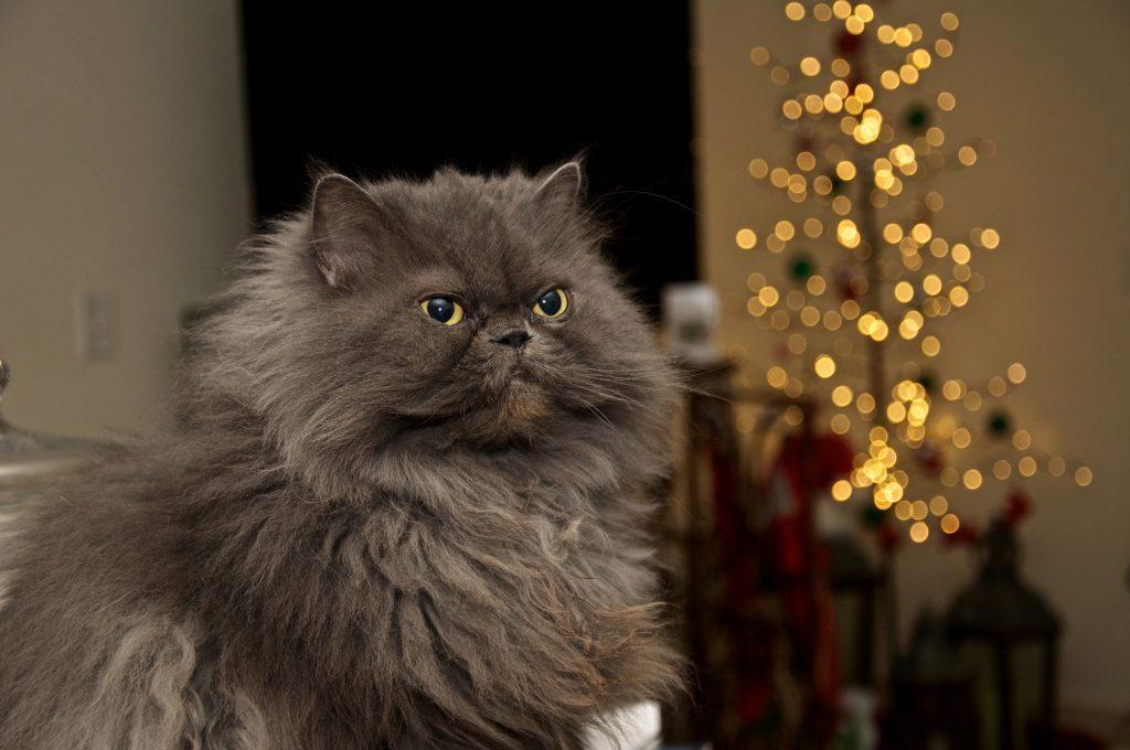 Himalayan round face cat