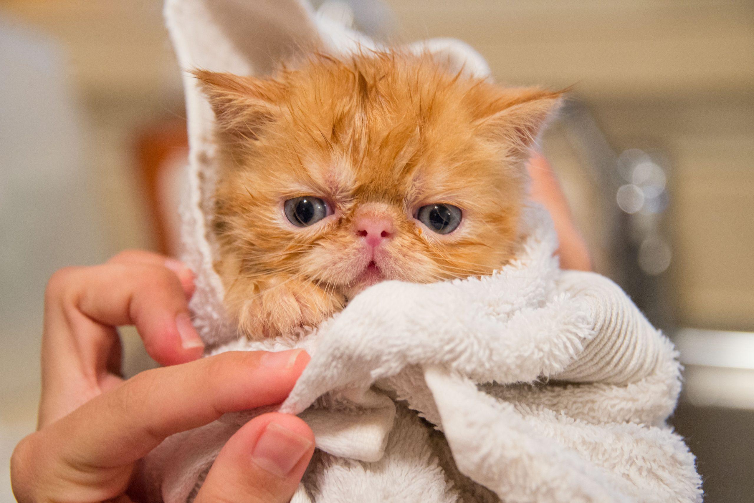 dry a cat after a bath