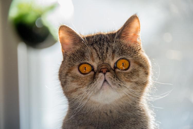 Exotic Shorthair round face cat