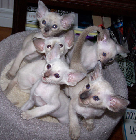 wedge siamese cats