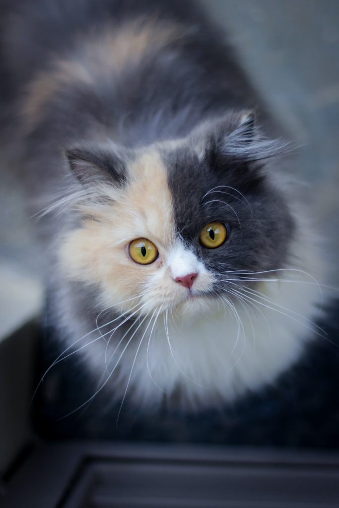 persian round face cat