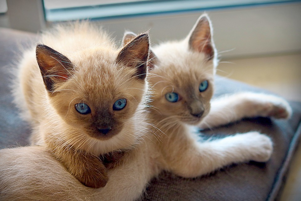 red point siamese cats