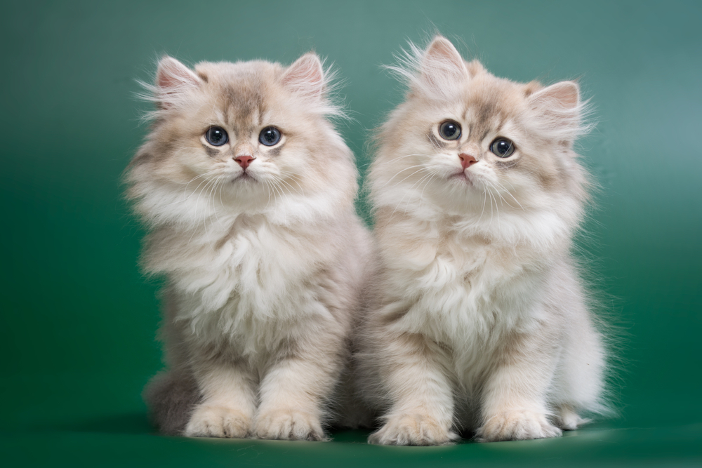 chinchilla siberian cats