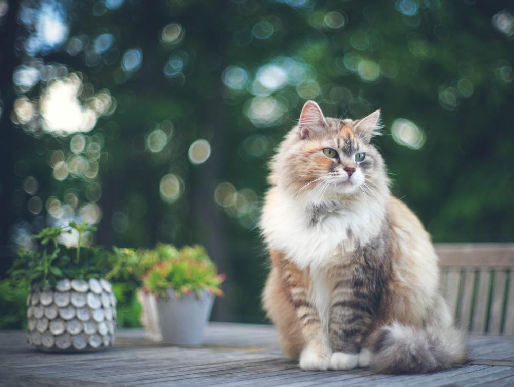siberian tabby cat