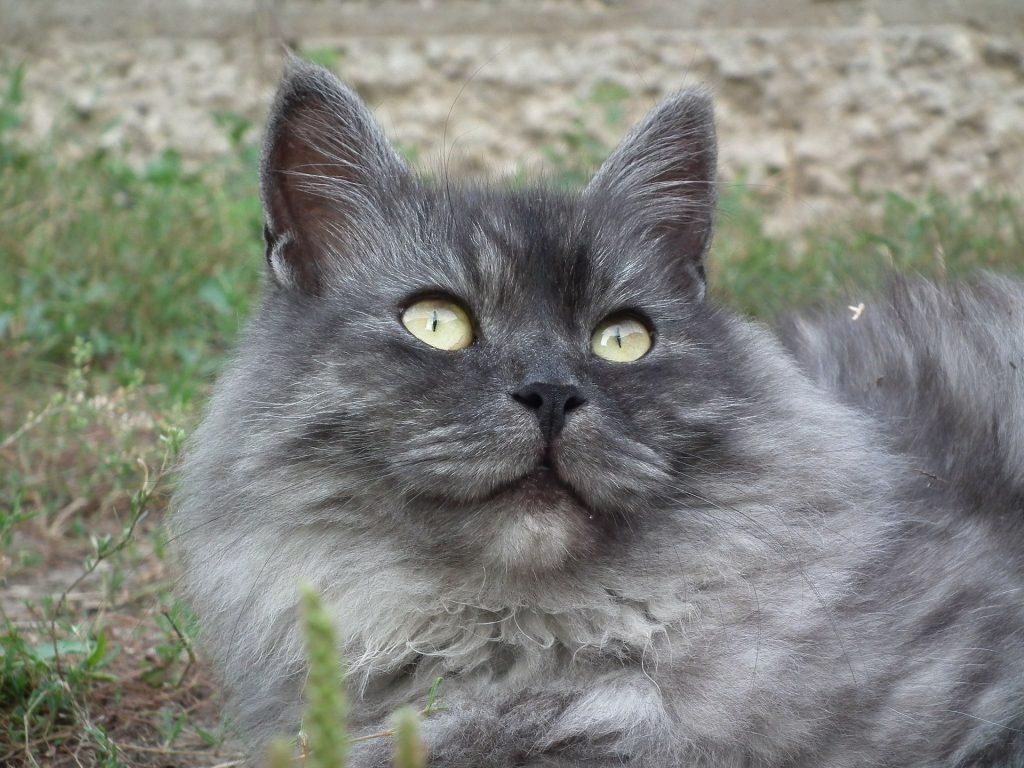 Smoke siberian cat