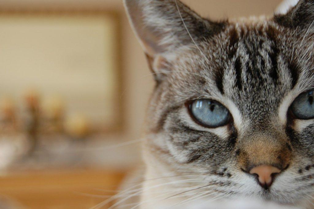 lynx tabby siamese cat
