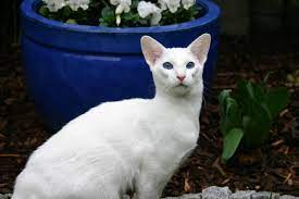foreign white siamese cat